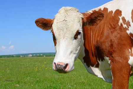 Head of a cow against a pasture Stock Photo - 28471362