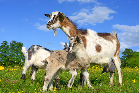 Goat with kids on summer pasture photo