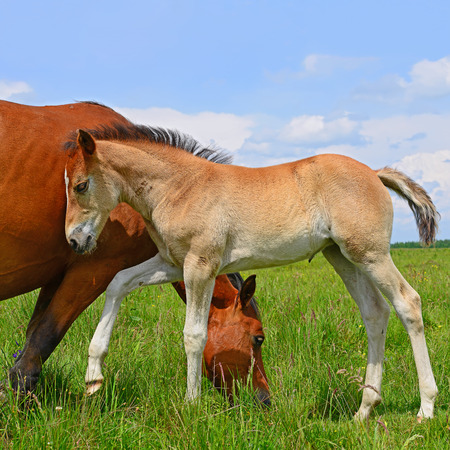 Foal with a mare on a summer pasture photo