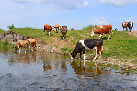 graze: Cows on a watering place Stock Photo