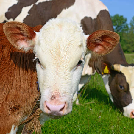 offshoot: Head of the calf against a pasture Stock Photo