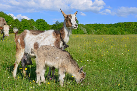 Goat with kid on summer pasture photo