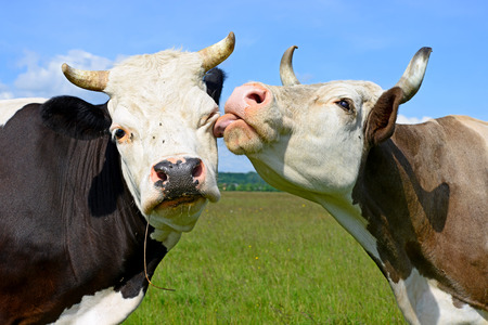 Heads of cows against a pasture Stock Photo