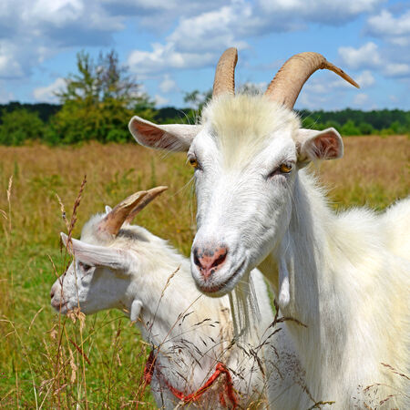 bloodstock: Goat on a summer pasture