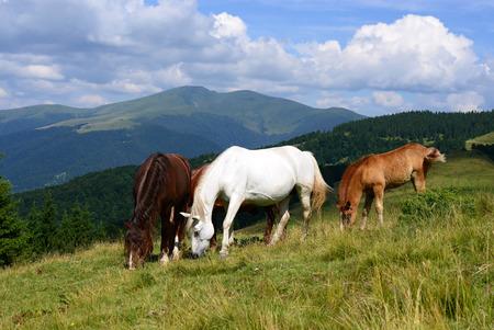 Horses on a summer mountain pasture photo