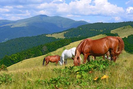 steeplechaser: Horses on a summer mountain pasture Stock Photo
