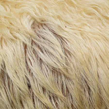 Skin of a sheep Stock Photo