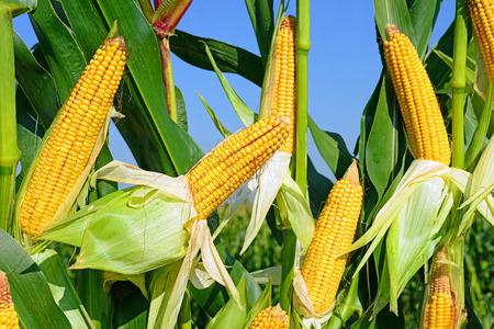 planta de maiz: Ma�z joven