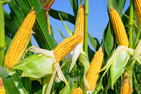 Young corn  photo
