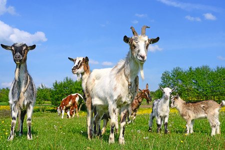 bevy: Goats on a summer pasture Stock Photo
