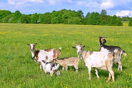 Goats on a summer pasture 스톡 콘텐츠