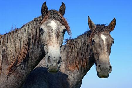 steeplechaser: Heads of horses against the sky Stock Photo