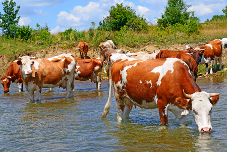 Cows on a watering place Stock Photo