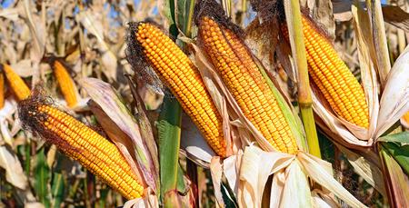 fodder corn: Ripe corn.