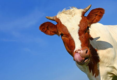 progeny: Head of the calf against the sky.