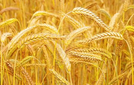 fodder corn: Grain field