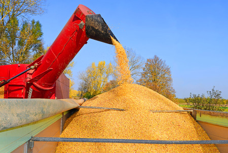agricultural tenure: Overloading grain silo with a tractor in a car. Stock Photo