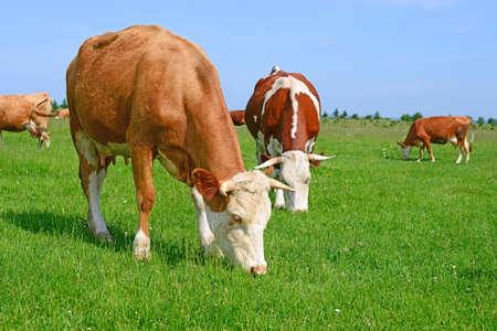 vaca: Vaca en un pasto del verano