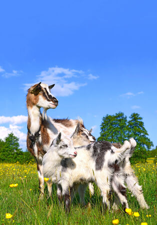 ling: Goat with kids on summer pasture