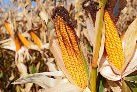 Ripe corn. photo