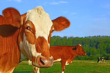 vaca: Jefe de una vaca contra un pastizal