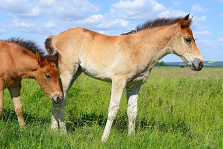 progeny: Foals on a summer pasture Stock Photo