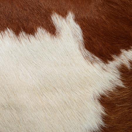 udder: Udder of a young cow