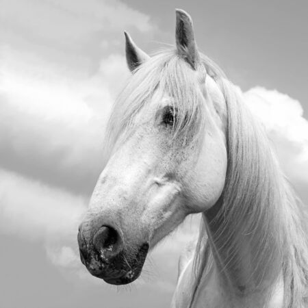 steeplechaser: Head of a horse against the sky