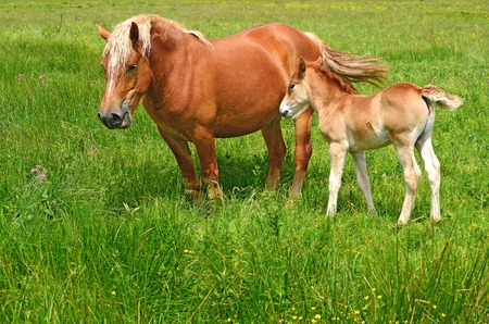 offshoot: Foal on a summer pasture Stock Photo