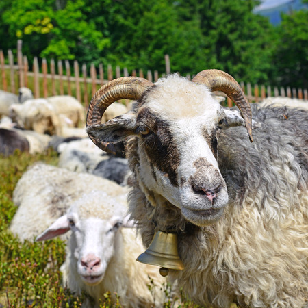 Sheep in a summer landscape photo