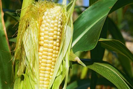 corn crop: Young corn