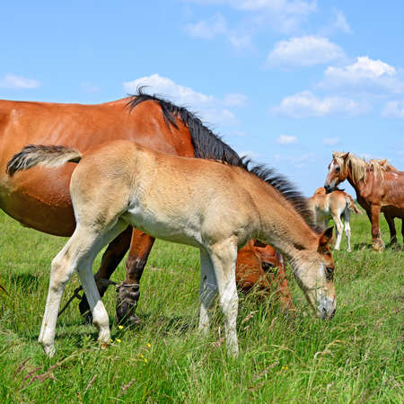 bloodstock: Foal on a summer pasture Stock Photo