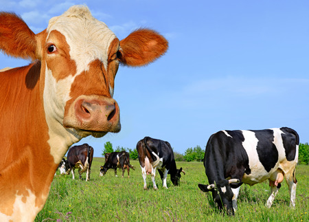 Head of a cow against a pasture Stock Photo