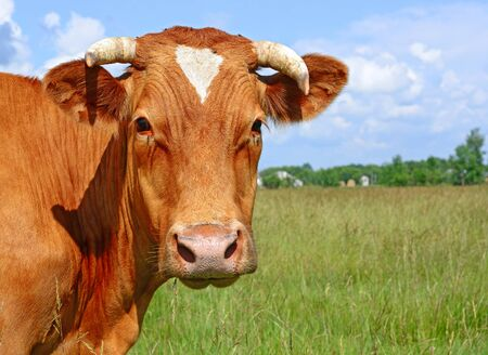 Head of a cow against a pasture 스톡 콘텐츠