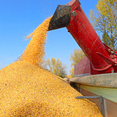 overloading: Overloading of maize from the hopper to the tractor vehicle