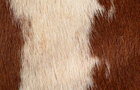 heifers: Fragment of a skin of a cow Stock Photo