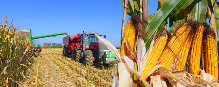 agricultural tenure: At harvest corn.