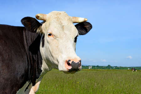 cow pasture: Head of a cow against a pasture Stock Photo