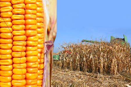 farm implement: Ripe corn.