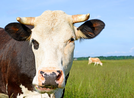 bloodstock: Head of a cow against the sky Stock Photo