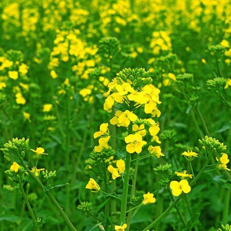 rapeseed: Rapeseed flowers