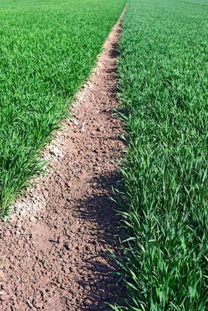 barley head: Green shoots in the grain field Stock Photo
