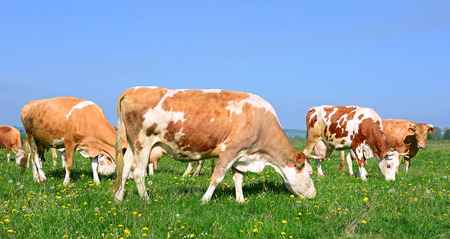 cow grass: Cows on a summer pasture