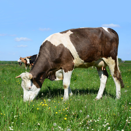 cow grass: Cow on a summer pasture Stock Photo