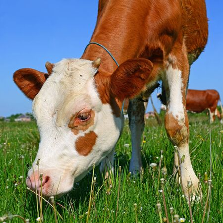 offshoot: The calf on a summer pasture