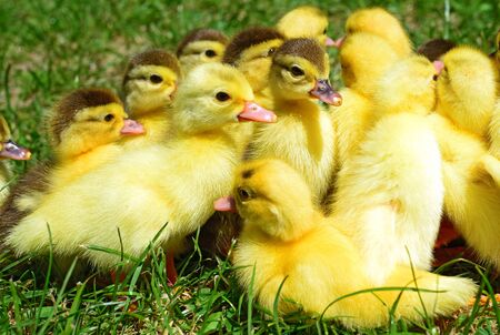 rural economy: Ducklings on walk