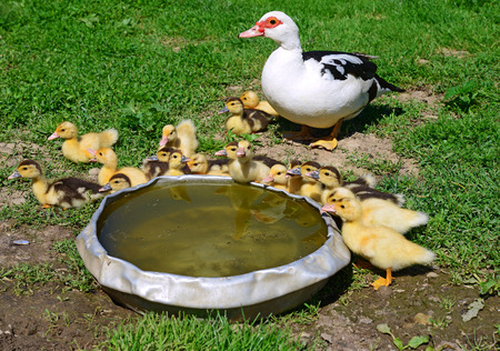 ducklings: Duck with ducklings for a walk.