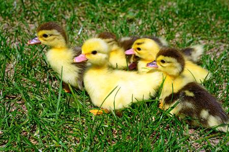 ducklings: Ducklings on walk