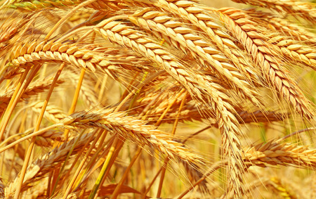 Grain veld