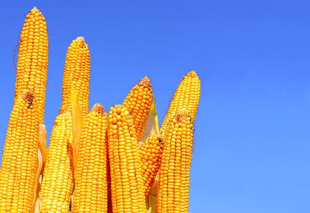 熟した: 熟したトウモロコシ。